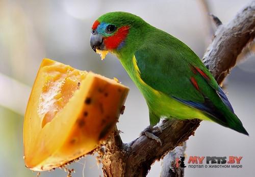 Фиговый попугайчик златобокий