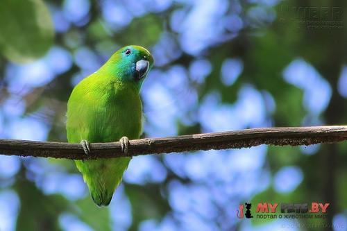 Куцехвостый попугай