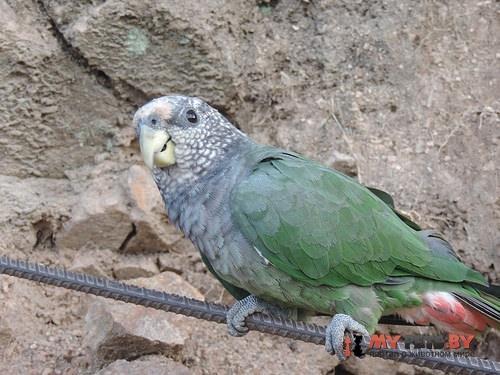 Красногузый попугай сливоголовый