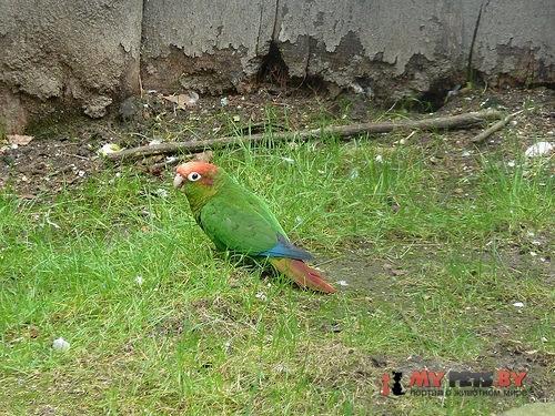 Краснохвостый попугай красноголовый