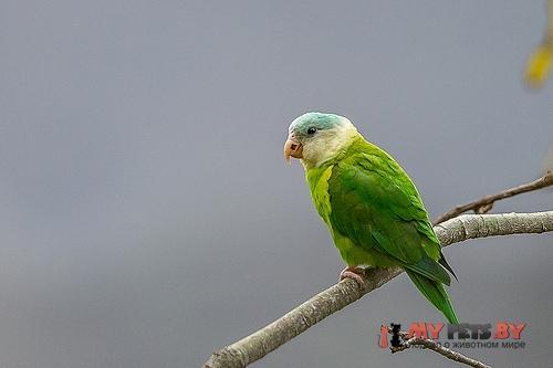 Тонкоклювый попугай серощёкий