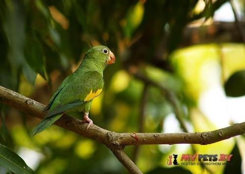 Тонкоклювый попугай канареечный