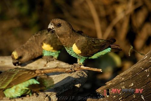 Длиннокрылый попугай Мейеров