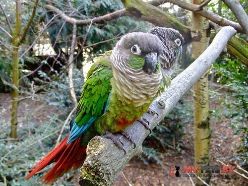 Краснохвостый зеленощёкий попугай