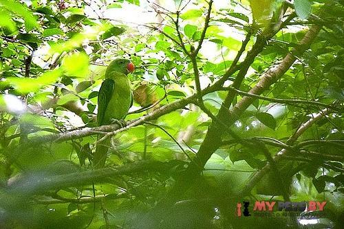 Большеклювый попугай черноплечий