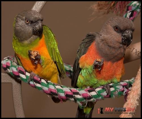 Длиннокрылый попугай красногрудый