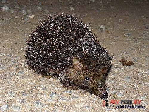 Algerian hedgehog