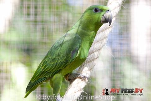 Короткохвостый попугай