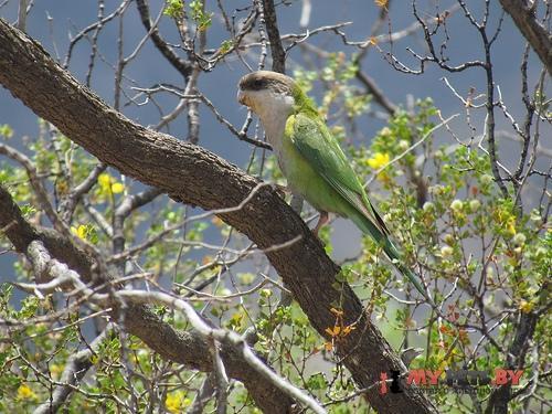 Толстоклювый попугай бурошапочный
