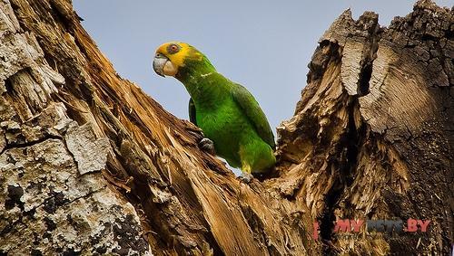 Длиннокрылый попугай желтолицый