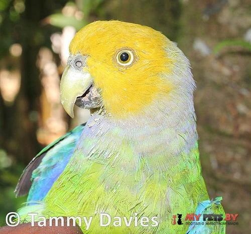 Попугай Жоффруа желтоголовый