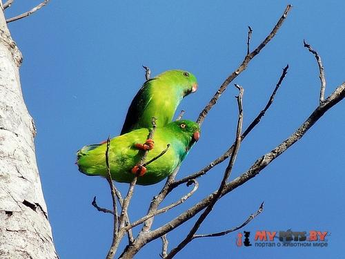 Висячий попугайчик флоресский