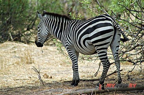 Бурчеллова зебра