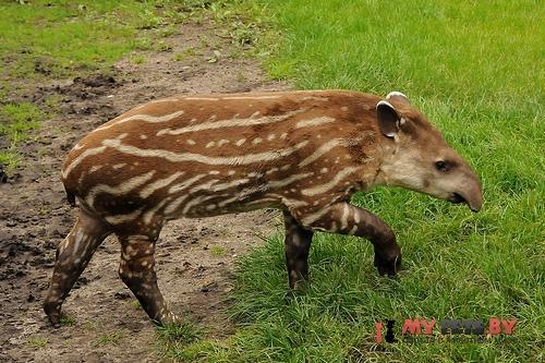 Равнинный тапир