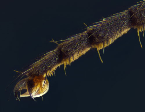 Лапка мухи