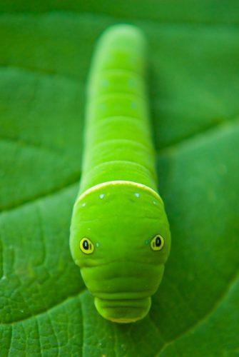 Гусеница имитирующая змею