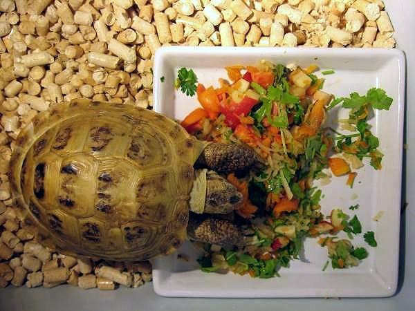 Кормление сухопутными черепахами в домашних условиях 871