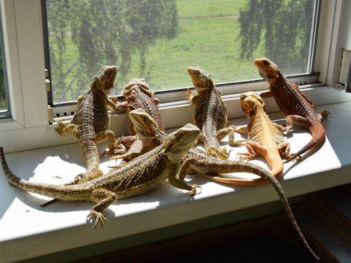 Обыкновенная ящерица в домашних условиях