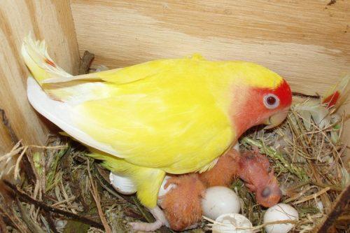 Попугаи-неразлучники: разведение