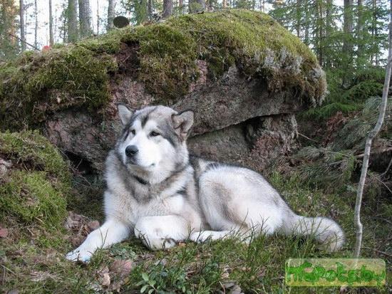 Аляскинский маламут
