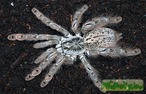 Heteroscodra maculata