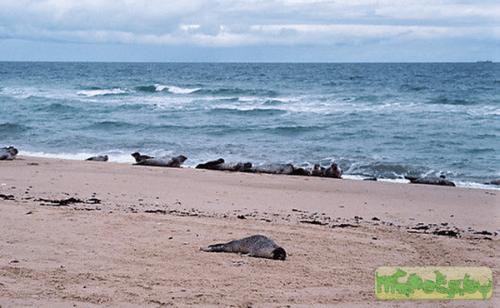 Тюлени, погибшие от чумки (фото Dr. Jeremy Burgess).