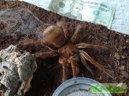 Theraphosa stirmi (