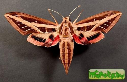 Eumorpha fasciata