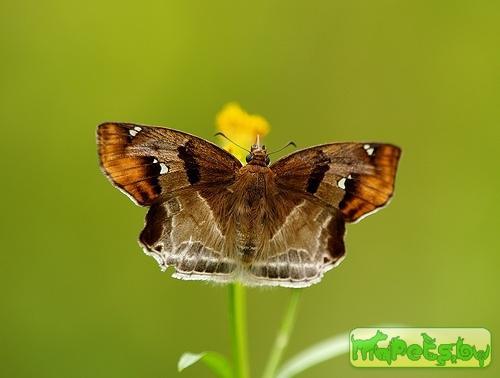 Odontoptilum angulata