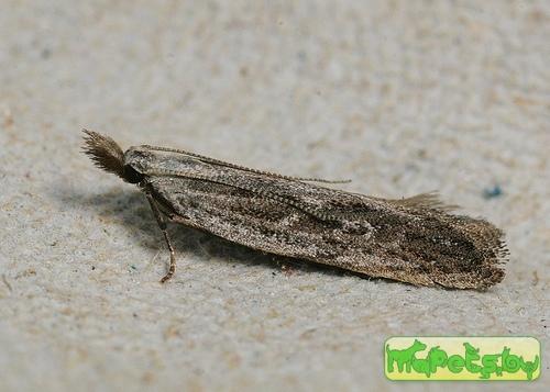 Anarsia spartiella