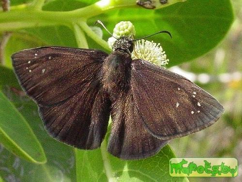 Ephyriades brunneus