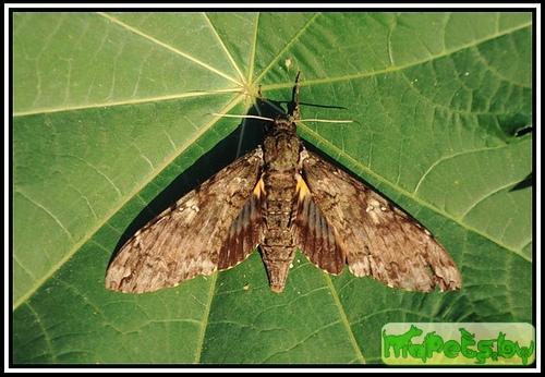 Cocytius duponchel