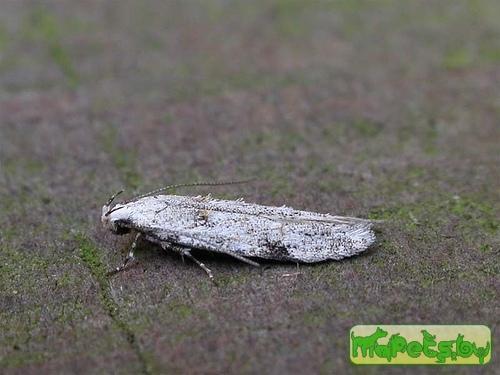Carpatolechia alburnella