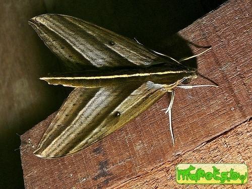 Elibia dolichus