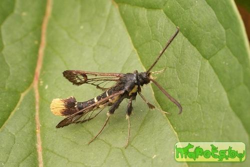 Synanthedon andrenaeformis