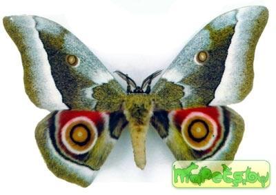 Gonimbrasia zambesina