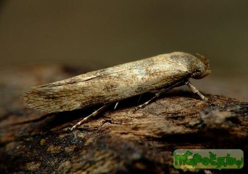 Mompha epilobiella