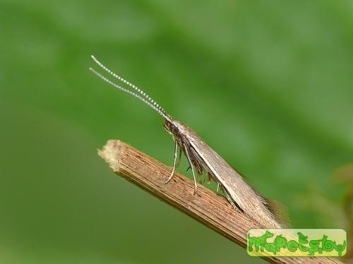 Coleophora caespititiella