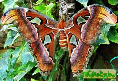 Attacus atlas (Павлиноглазка атлас)