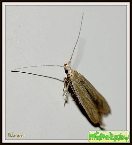 Coleophora artemisicolella