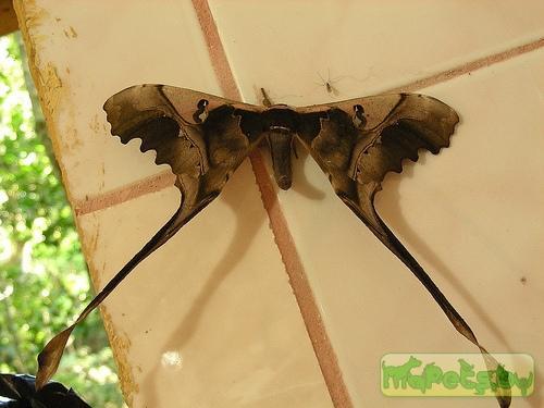 Copiopteryx sonthonnaxi