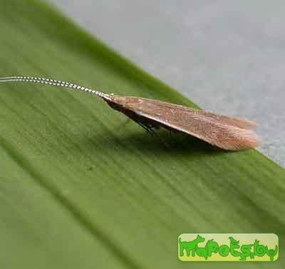 Coleophora alnifoliae