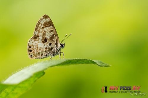 Niphanda cymbia