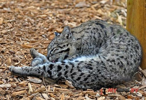 Leopardus geoffroyi, Кошка Жоффруа