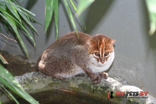 Prionailurus planiceps, Кошка суматранская