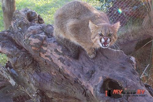 Leopardus colocolo