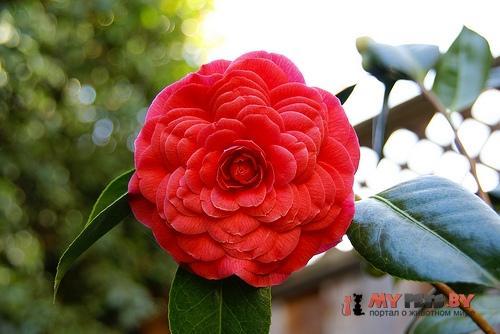 Красная камелия (Red Camellia)