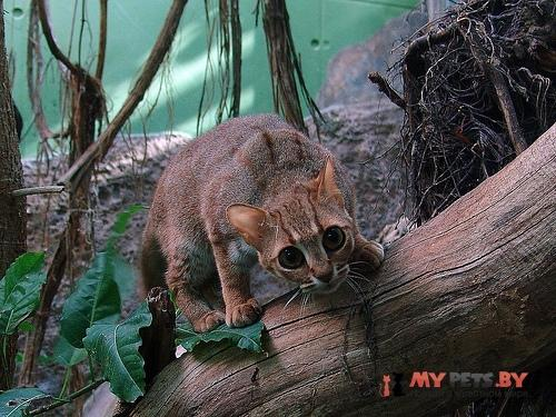 Prionailurus rubiginosus, Пятнисто-рыжая кошка
