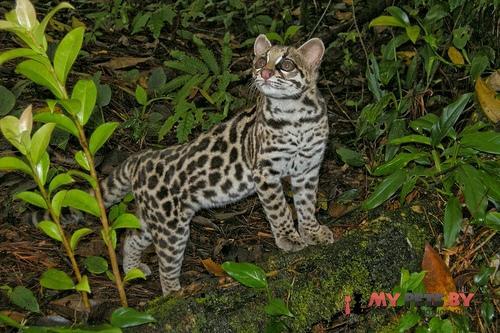 Leopardus tigrinus, Онцилла