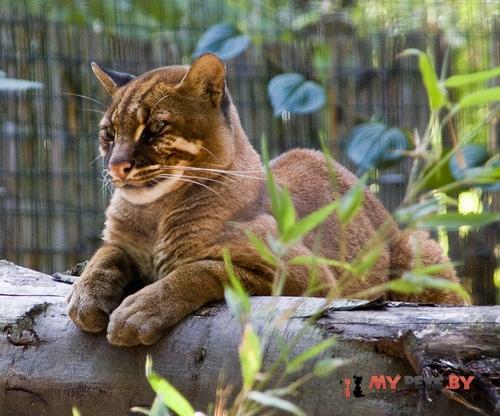Pardofelis temminckii, Азиатская золотистая кошка